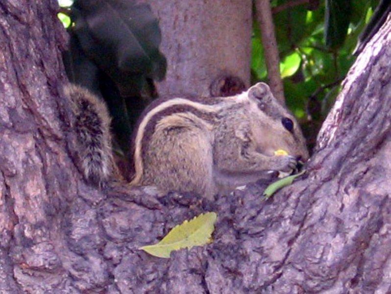 Squirrel in Ahmedabad, India