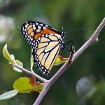 Monarch Butterfly - Fall Flyby