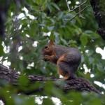 Fox Squirrel - Crunching All Around
