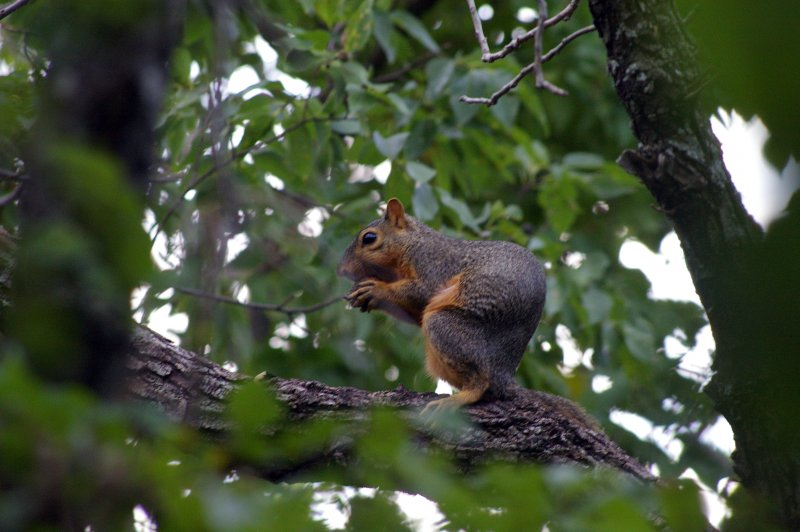 Fox Squirrel – Crunching All Around
