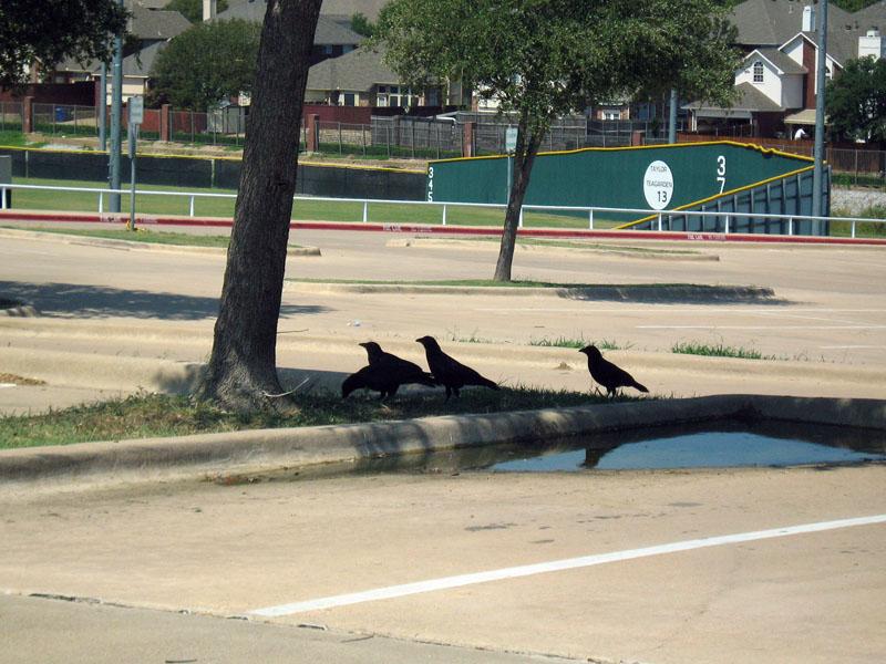 American Crow - A Murder at a High School