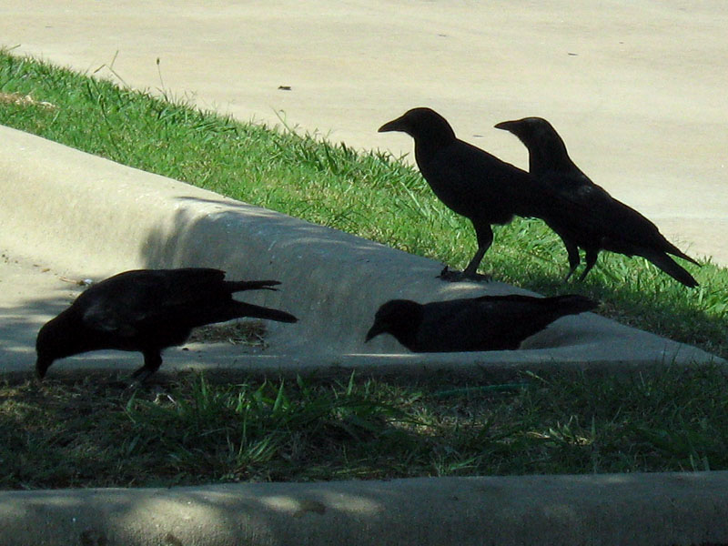 American Crow - A Murder at a High School