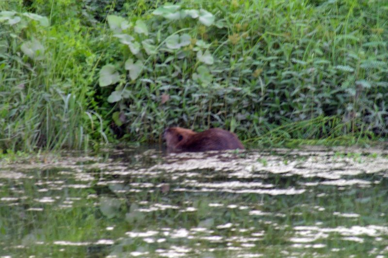 A closer look at the urban Beaver.