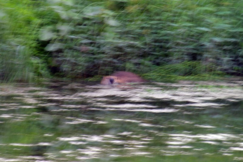 The poor lighting made photographing the Beaver in motion difficult to get right.
