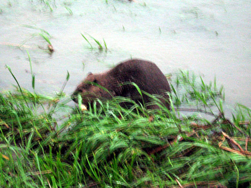 Notice the white colored object near his mouth. This is the piece of wood that was the focus of the Beaver's attention during much of this observation.