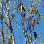 Cedar Waxwing - Berry Eaters