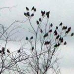 Cedar Waxwing - Spring Migration