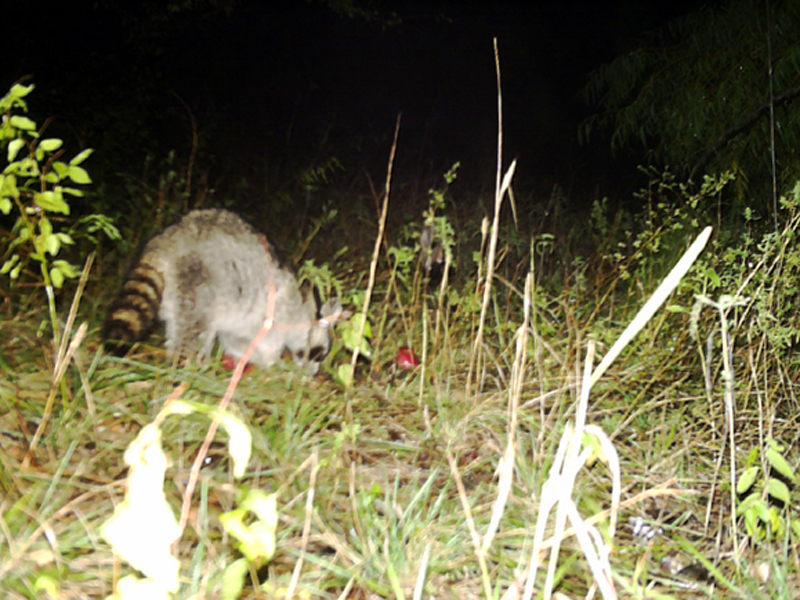 For this series of photos I set my scouting camera up in a heavily wooded location near The Colony by the southeast end of Lake Lewisville. Once again I baited the camera with apples, and once again I quickly attracted Raccoons.
