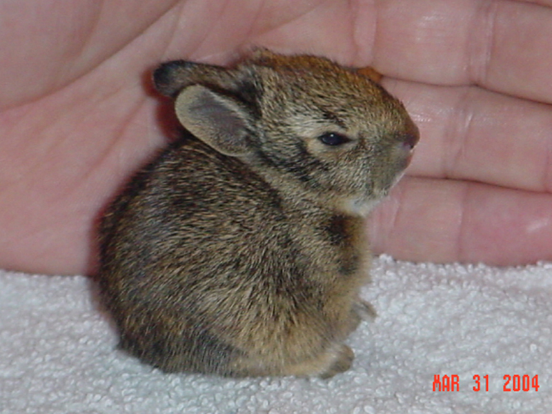 This baby Eastern Cottontail was rescued after a neighborhood cat ransacked its nest. The cat completely destroyed the rabbit's nest, leaving this baby as the only survivor. The rabbit's age in this picture is estimated at 7 to 10 days. He is approximately 3 inches in length, while measured in a normal seated position. His eyes and ears are open and his teeth are just beginning to emerge.