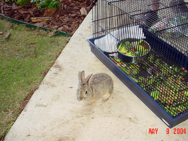 This is the big day! The bunny was eager to be out of the cage, and made himself right at home in the caregiver's back yard.
