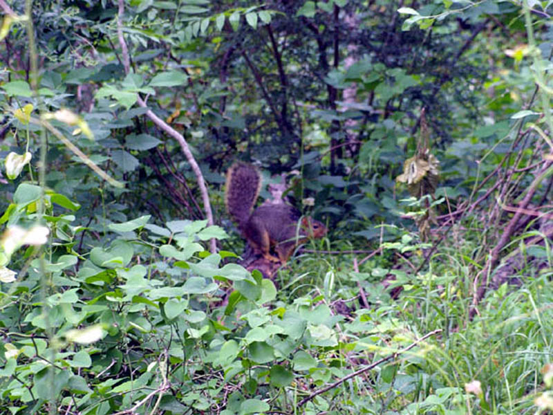 Fox Squirrel - Elm Fork Nature Preserve