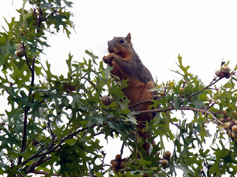 Fox Squirrel – Pioneer