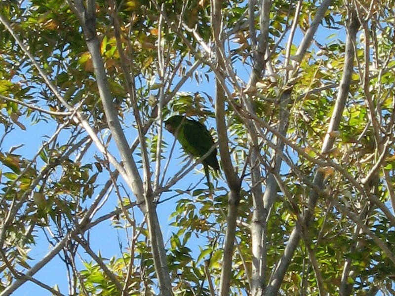 A closer look at one of the Monk Parakeets.