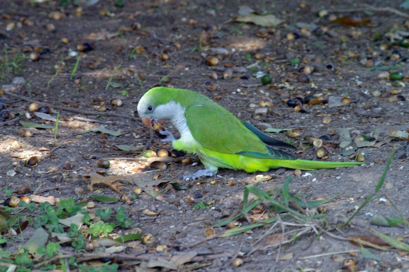 A Monk Parakeet eating acorns near Parrot Bay.