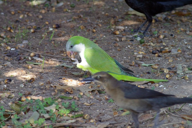 A Monk Parakeet congregating with Great-tailed Grackles.