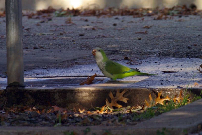 A Monk Parakeet taking a drink.