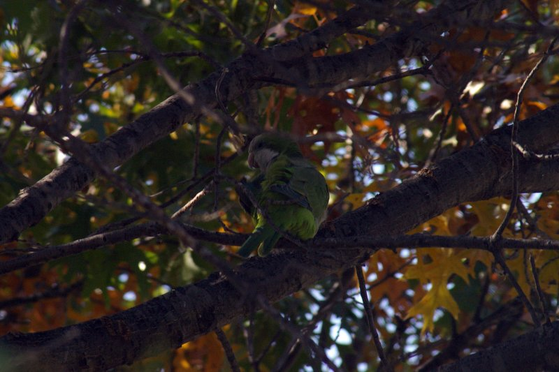 This Monk Parakeet in well camouflaged among the green leaves of the tree.