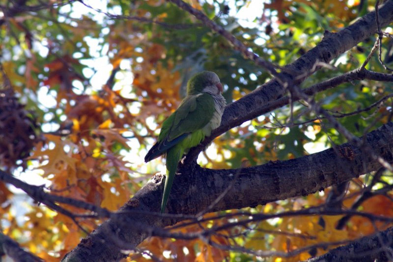 A Monk Parakeet at White Rock Lake in Dallas, Texas.