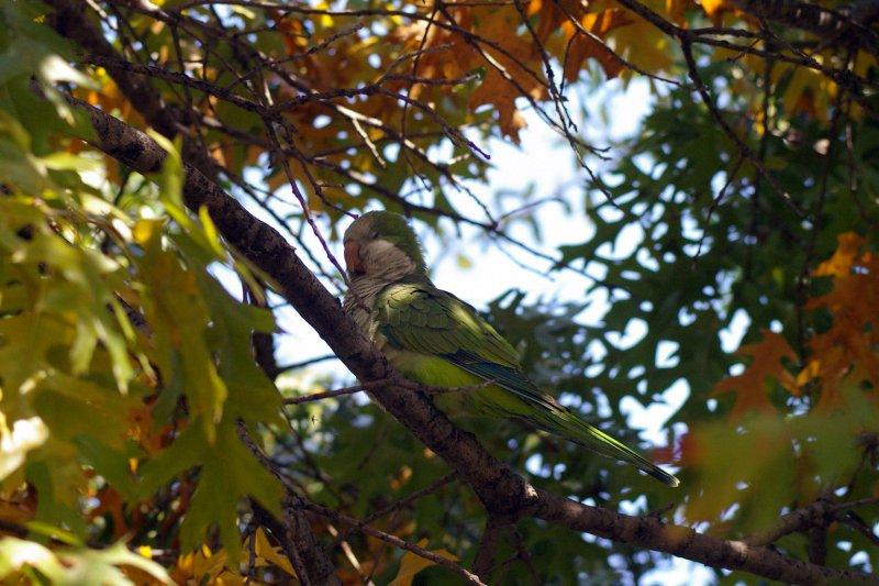 A Monk Parakeet.