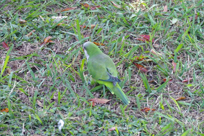 This Monk Parakeet is searching for acorns on the ground.