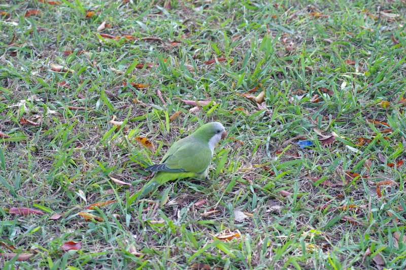 A Monk Parakeet on the ground.