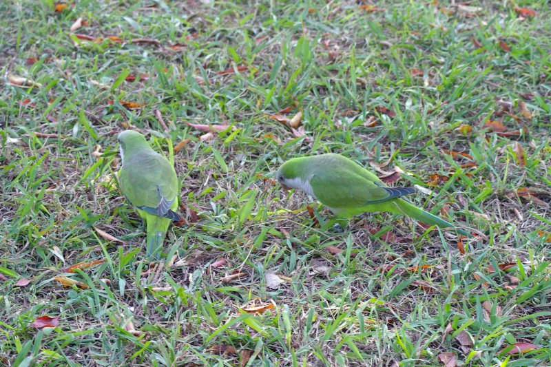 These birds are on the ground searching for food.