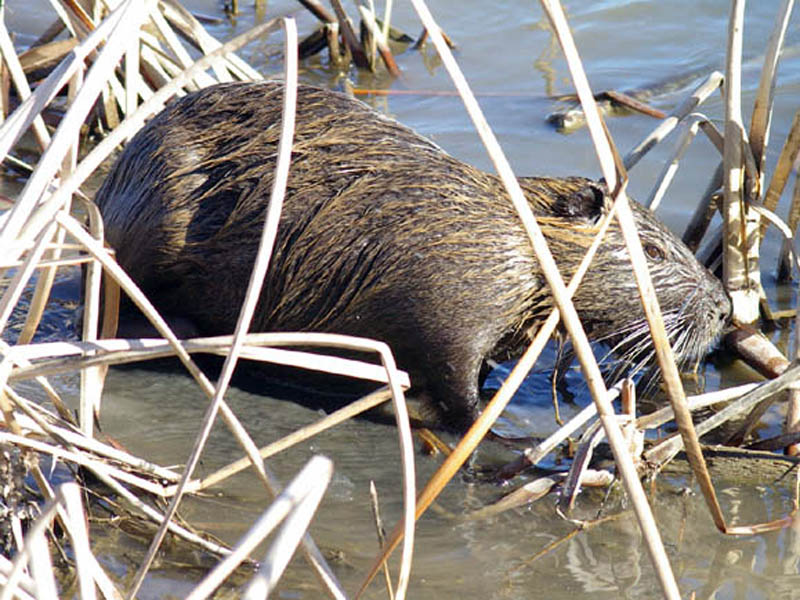 We followed the Nutria as he moved into the reedy area, and I took this picture of him as he moved into the shallow water near the bank of the pond.