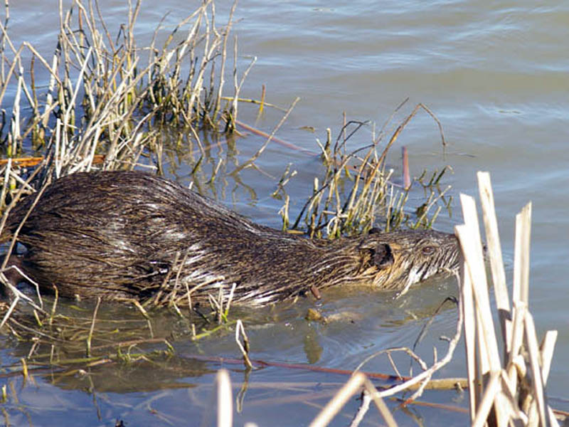 Evidently the vegetation here was not up to the Nutria's standards, and after only a minute or two he re-entered the water and began to swim further down the shore towards an area with more extensive reed growth.