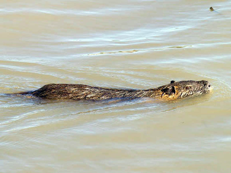 This photograph demonstrates some of the Nutria's adaptations for life in the water. Note the ears, eyes and nostrils set high on the head to be clear of the water while the Nutria is swimming.