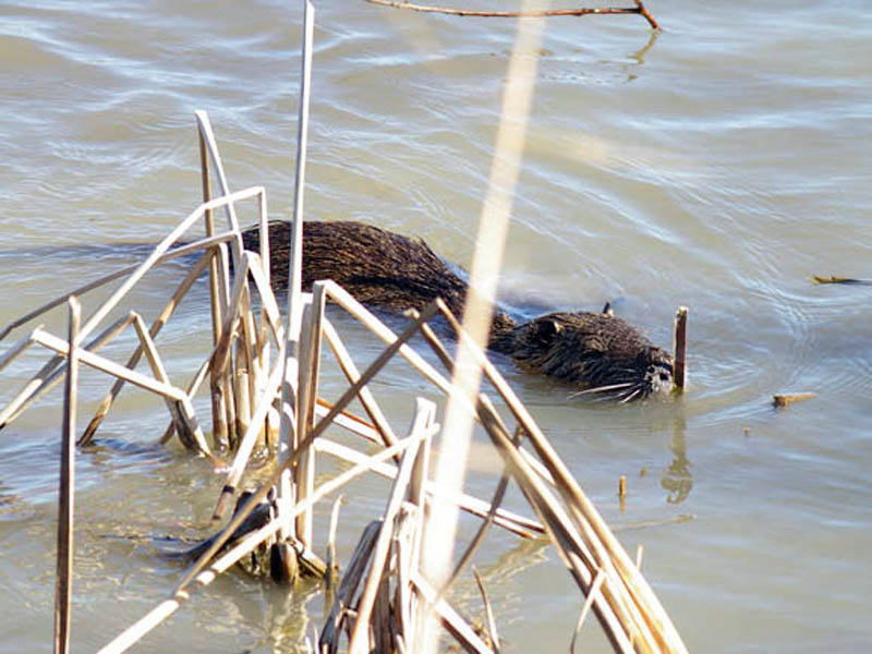 The Nutria moved through the reeds and seemed to be looking for something specific. We followed the Nutria as he swam along the shore. He was never further than 15 feet from us, and despite the proximity, the Nutria seemed generally unconcerned about our presence.