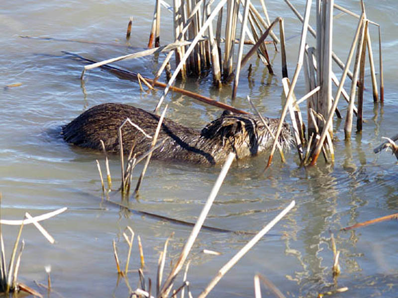 The Nutria stopped in front of these reeds, and periodically dunked his head under the water, evidently in an effort to examine the plant's roots.