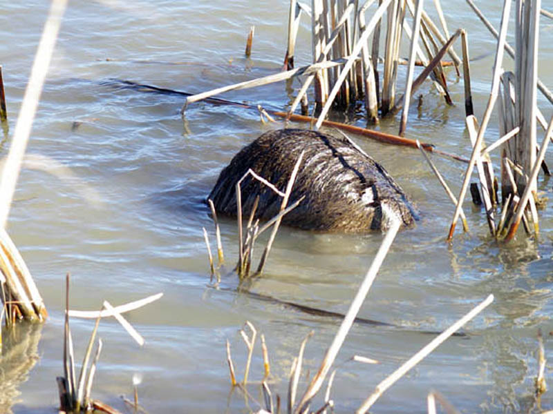 Here you see the Nutria with his head completely submerged. After a moment or two he came back to the surface, and then repeated the maneuver several more times over the next 2 or 3 minutes.