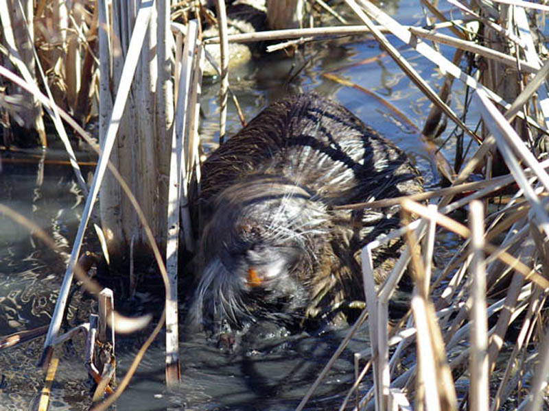 Here the Nutria is giving his head a rapid, dog-like shaking. The large, orange teeth are also very noticeable in this photograph.