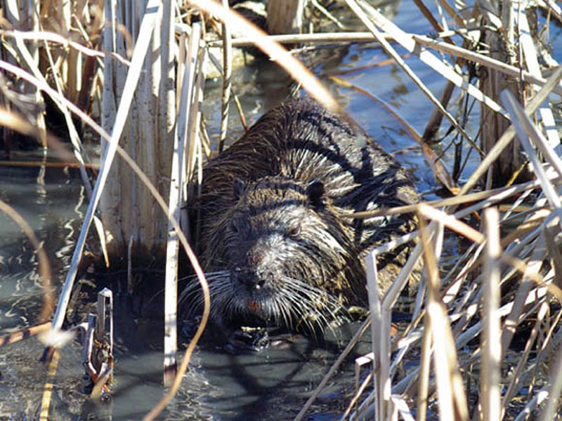 In this picture you can see the Nutria firmly grasping a reed stem in his forepaws as he leisurely chews on his last bite of the plant.