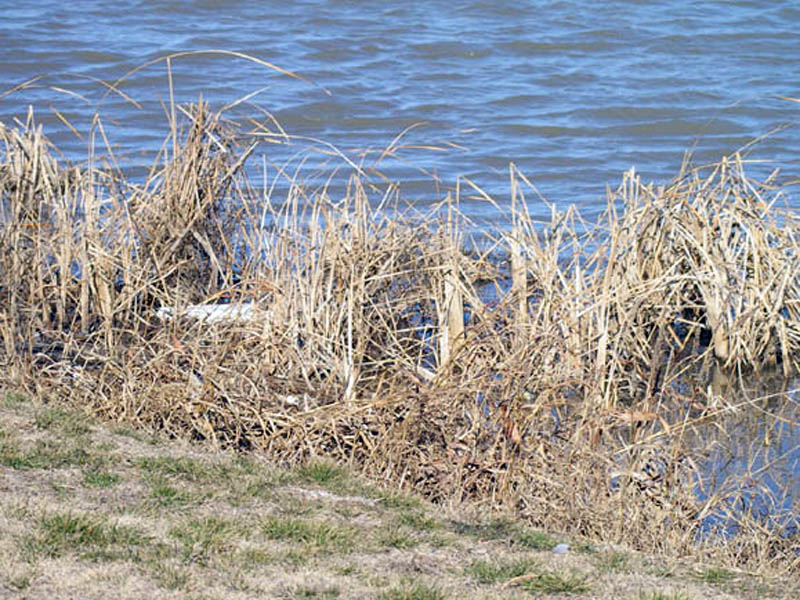 Hiding in plain view. In this picture I have moved back even further in order to demonstrate the Nutria's ability to blend in with its surroundings. This photograph was taken at a distance of roughly 15ft/3m. Can you see the Nutria roughly in the center of this picture? The Nutria's hunched hindquarters are visible about an inch to the right of the large white item on the left side of the photograph.