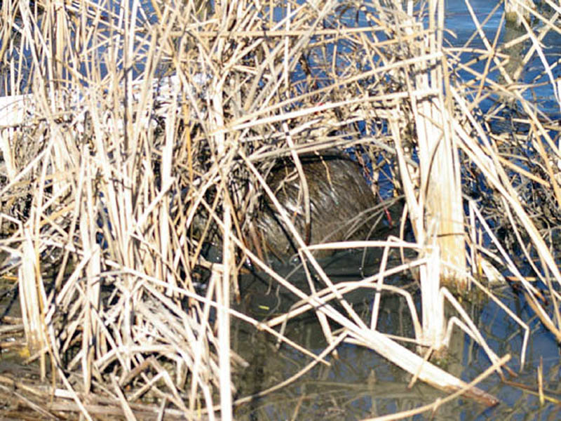 Can you see him now? The Nutria is probing deeply into the thick reed in order to get at the tasty roots just under the water's surface.