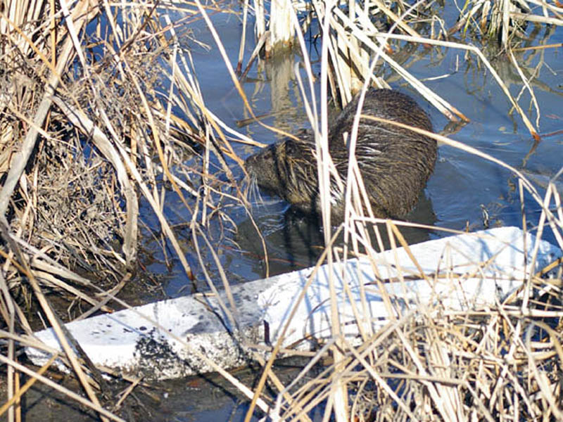 Here the Nutria has moved back into the open water near the large white item seen in the previous photographs.