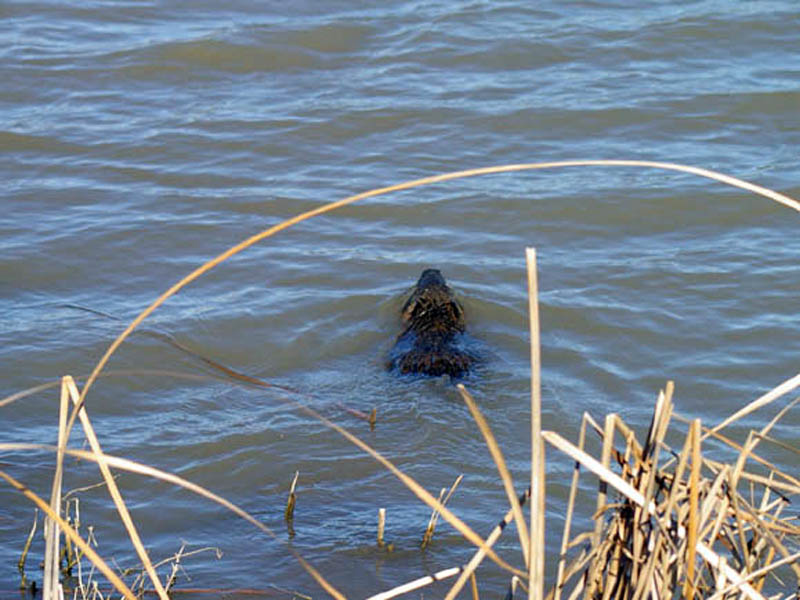 That this point the Nutria headed back out to the open water just of shore. He swam away from the back for roughly 12 feet, and the veered back to the north, heading toward the thick reed bed from which he first emerged.