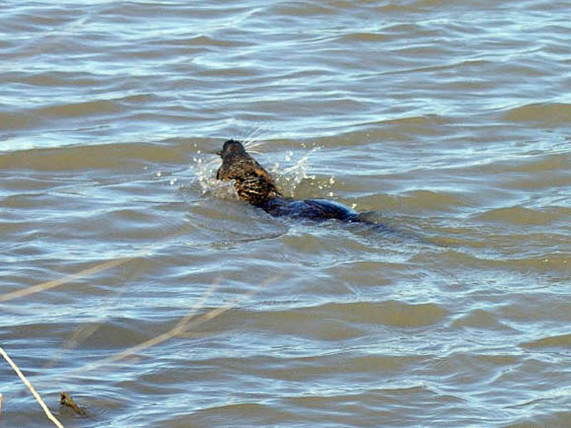 In this picture the Nutria is seen swimming through the open water with quite some gusto. Notice the water splashed up by the Nutria's paddling.