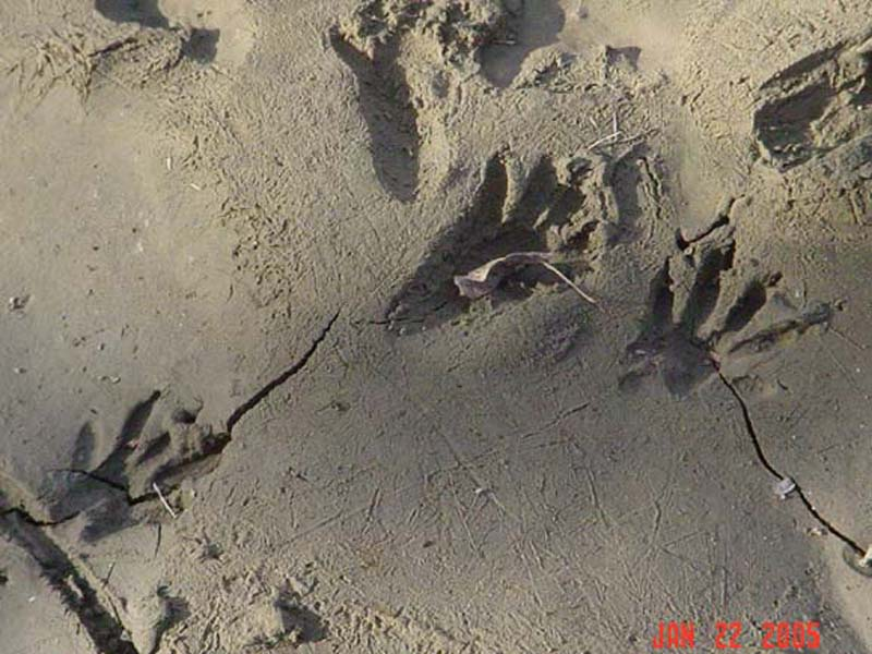 Raccoon - Tracks in the Mud