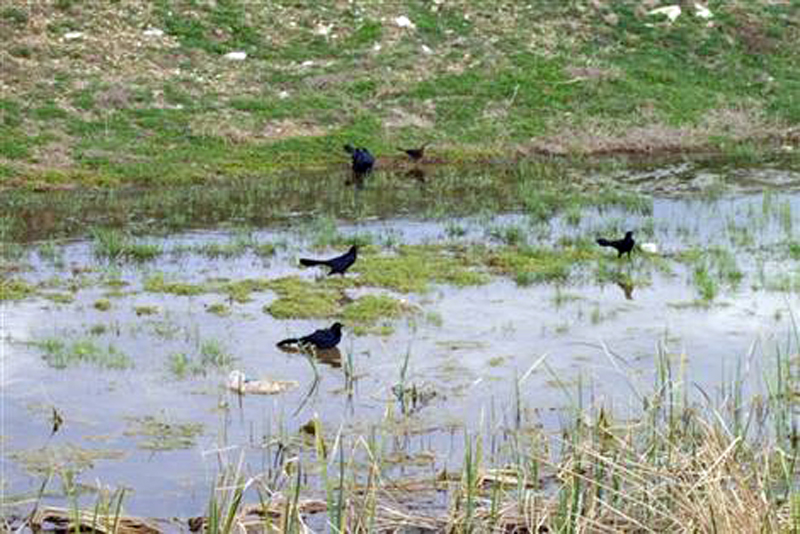 Before the Dredging - Great-tailed Grackles in the shallow water of the pond's north end.