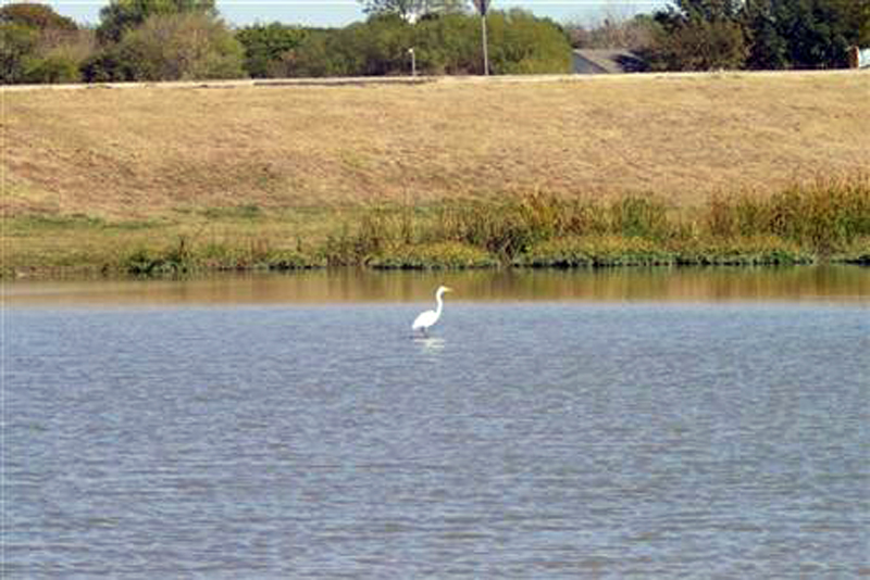 Before the Dredging - A great Egret standing in water that is only a few inches deep.