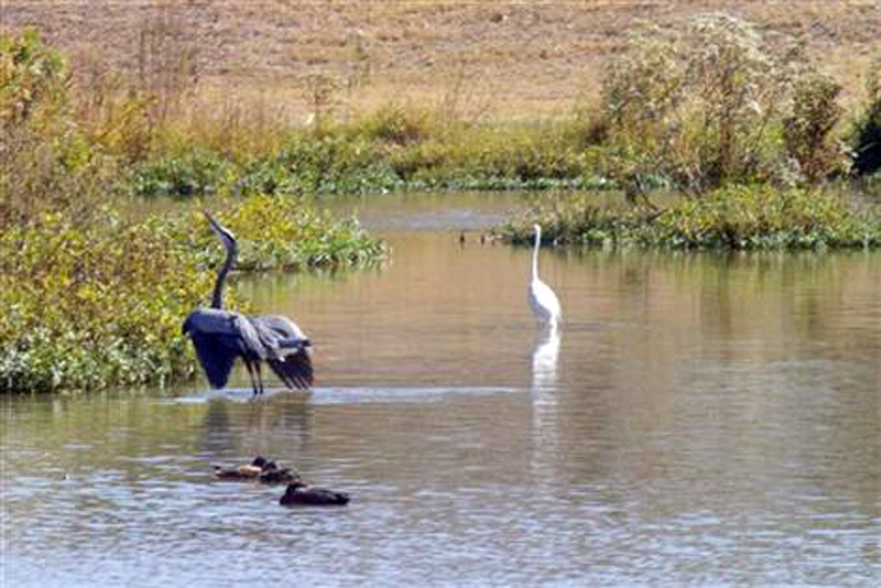 Before the Dredging - A Great Blue Heron and a Great Egret in close proximity.
