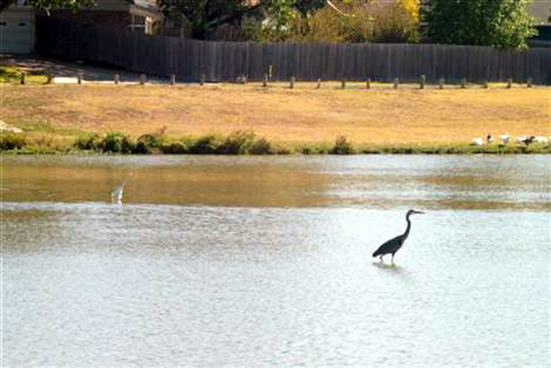 Before the Dredging - A Great Blue Heron making its way through the shallow water near the center of the lake.