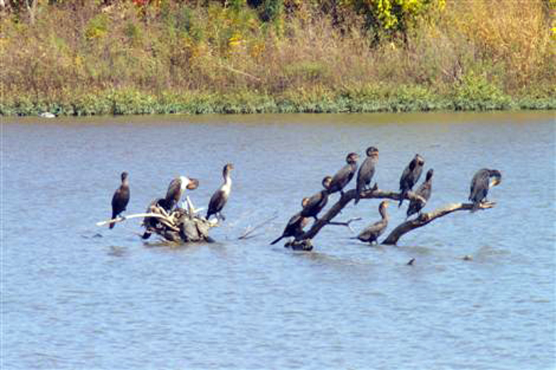 Before the Dredging - A collection of Double-crested Cormorants. This submerged tree is the only place on the lake where the cormorants would congregate. It would not survive the dredging.