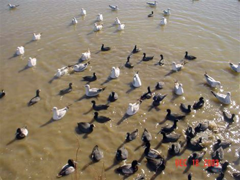 Before the Dredging - Represented in this photograph are Ring-billed Gulls, American Coots, and Lesser Scaups.