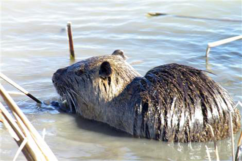 Before the Dredging - A hungry Nutria feeding on reeds.