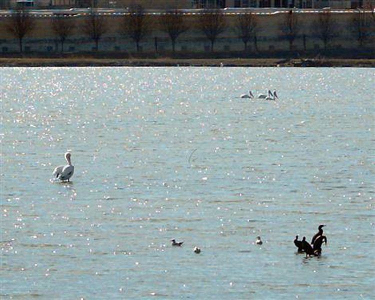 Before the Dredging - American White Pelicans. Note the single individual standing in ankle deep water near the pond's center, as well as three more pelicans swimming by in the distance.
