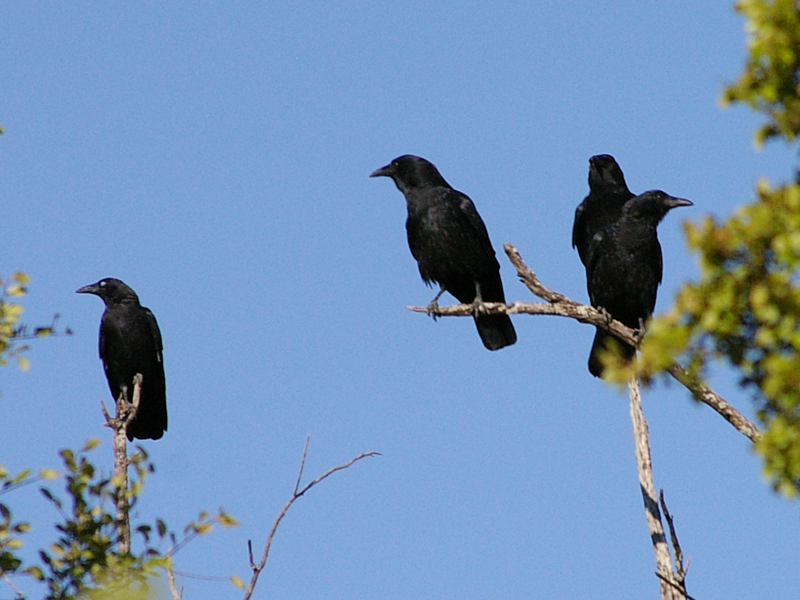 American Crow - Raucous Caucus