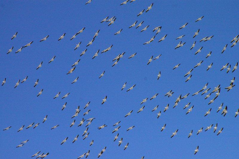 American White Pelican - Migration Swarm